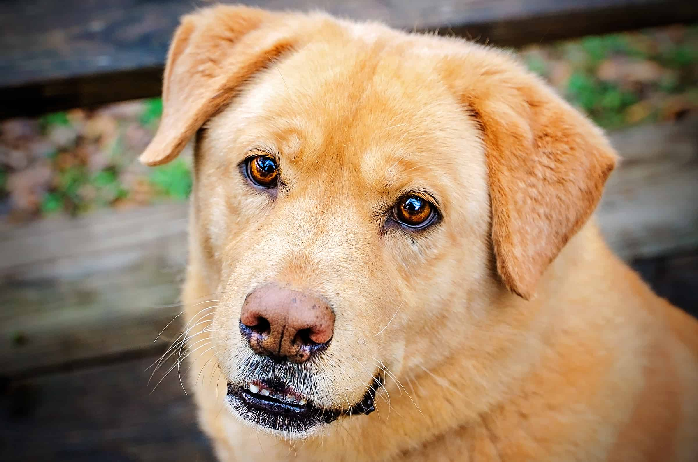 Chow Labrador Retriever mixed breed dog