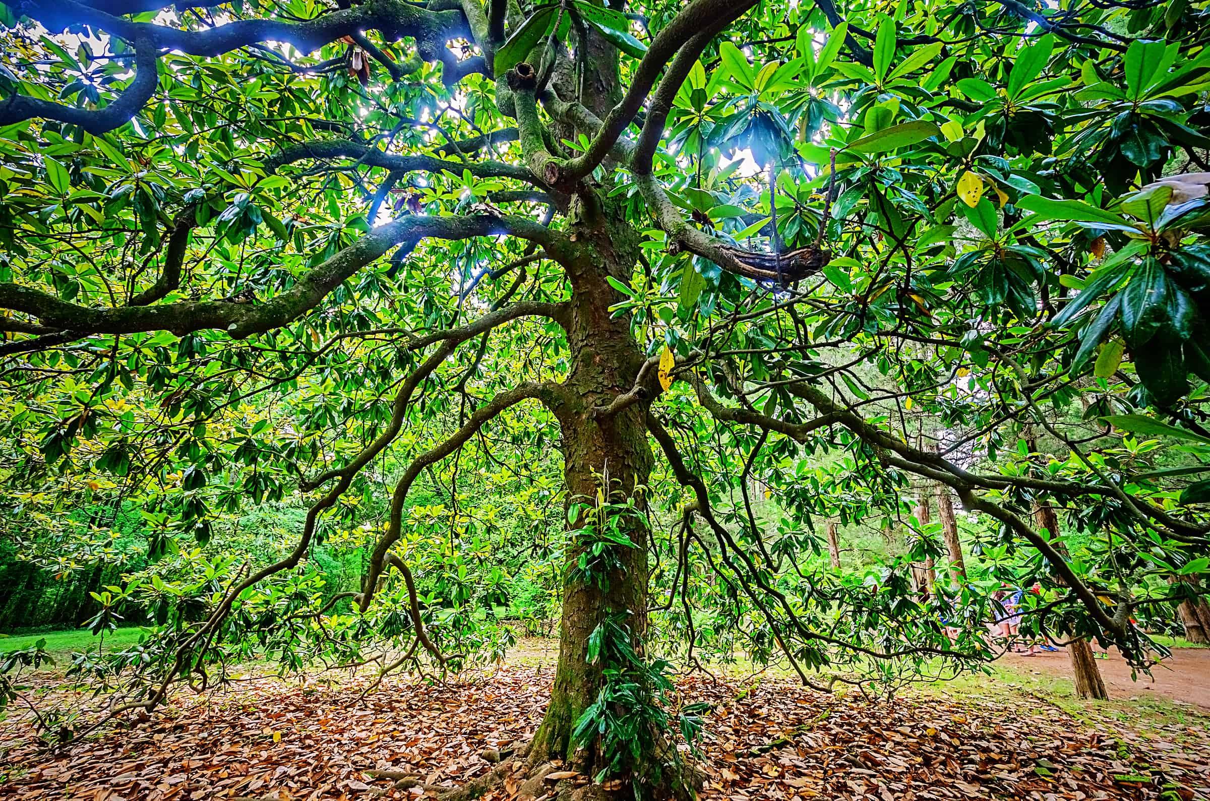 Sunlit magnolia tree at William Faulkner home Rowan Oak in Oxford Mississippi